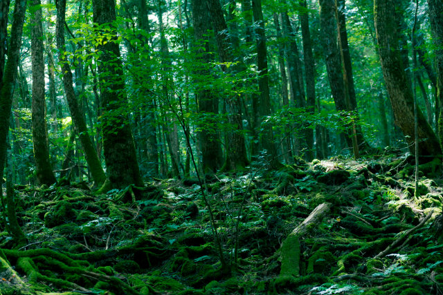 Aokigahara Forest in Japan. It is a well known place where too many people a year go to commit suicide.  haunted mansions Top 15 Haunted Mansions to Inspire Your Halloween Weekend HALLOWEEN 8 AOKIGAHARA JAPAN